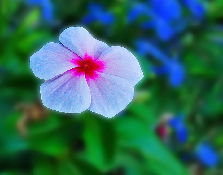 DSC_0191_1_72 - White Vinca flower with pink and red cente… | Flickr
