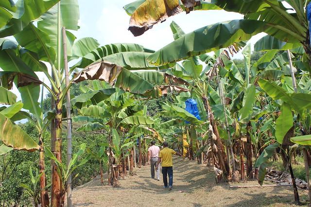 曾廖景廷的香蕉園已經取得綠色保育標章認證,中寮保育石虎的香蕉,讓人與石虎都健康。攝影:廖靜蕙