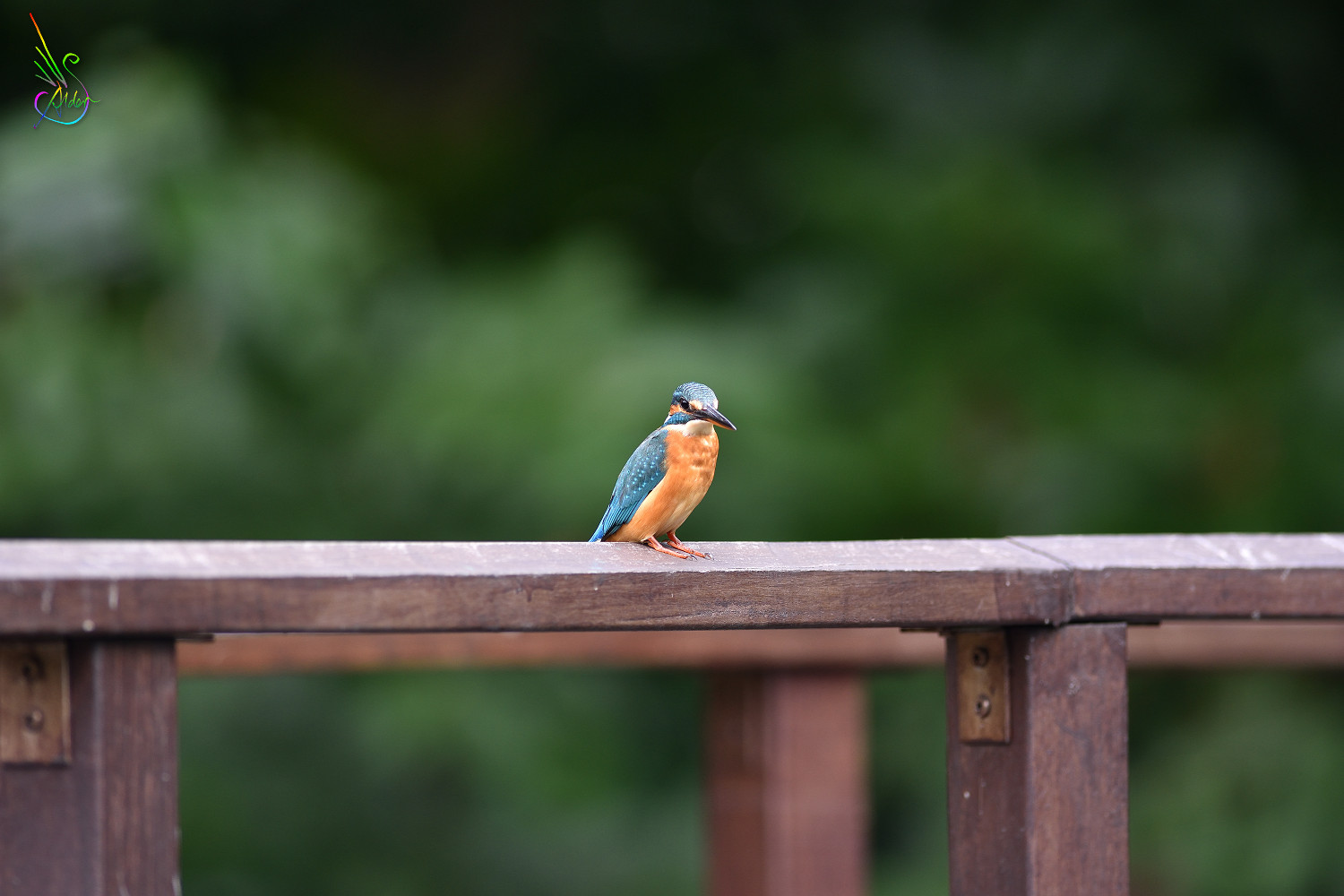 Common_Kingfisher_7385
