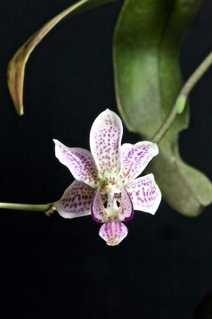 Phalaenopsis Alyos 32222172903_41c27d73b0_z