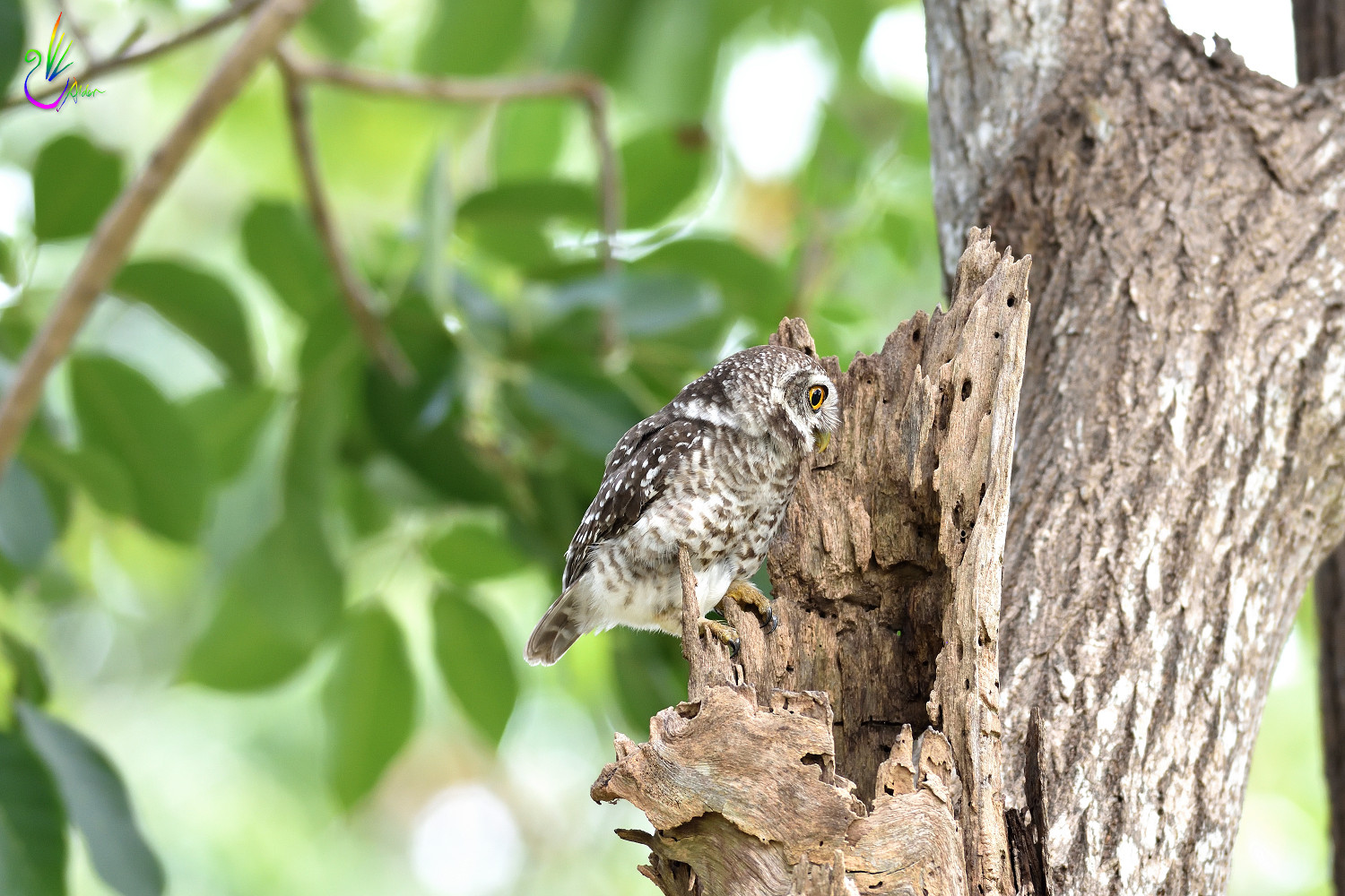 Spotted_Owlet_6878