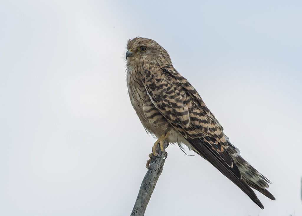 Greater Kestrel   Falco Rupicoloides