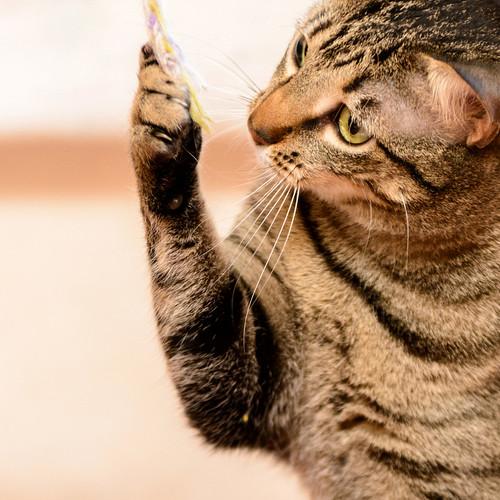 Tigris, gatita atigrada parda de ojazos verdes y cara redondita, tímida y sumisa esterilizada, nacida en Septiembre´15, en adopción. Valencia. ADOPTADA. 31916660853_4d276f8113