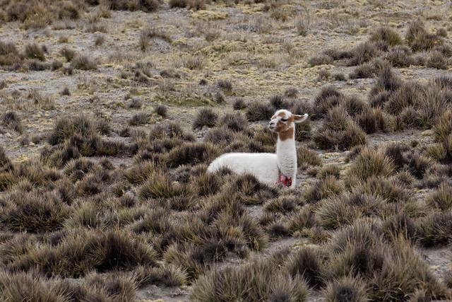 Wikunia andyjska
