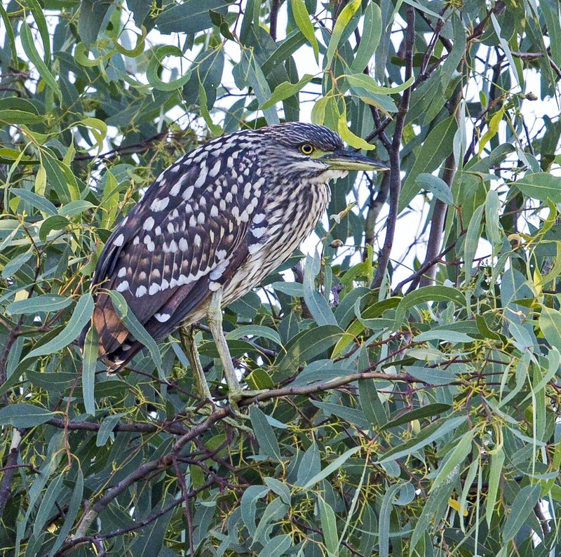 Immature Night Heron N Bartlett