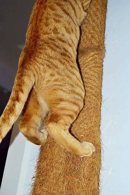 Jerry, gatito rubio guapo muy dulce y bueno, esterilizado, nacido en Abril´15 en adopción. Valencia. ADOPTADO. 23575971551_1e2b626534_z
