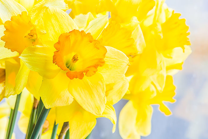 Daffodil sales ($5 per bunch) support the Hospice Program of Los Alamos Visiting Nurse Service.