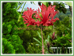Hibiscus schizopetalus (Japanese Lantern, Japaneses Hibiscus, Fringed Rosemallow, Coral/Spider Hibiscus), seen in the neighbourhood, 9 Nov 2011