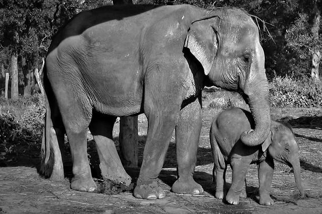 NEPAL, Royal Chitwan-Nationalpark, Elefanten-Aufzuchtstation, 15328/8049