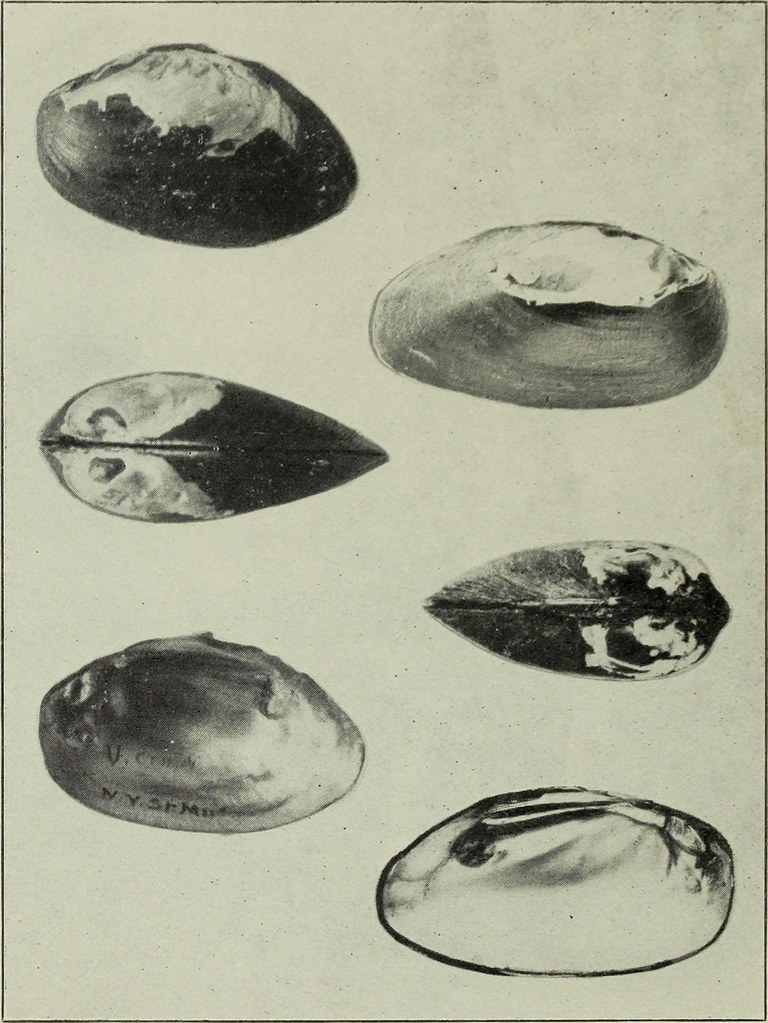 Image From Page 51 Of The Conchologists Exchange 1886