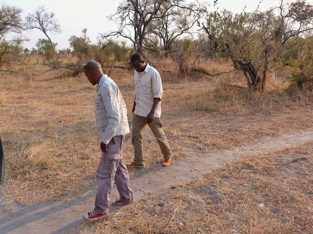 Rastreo de huellas de los guías de Mopane Game Safaris en Moremi (Botswana)