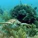 hawksbill sea turtle cruising the reef key west sailing adventure