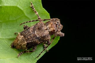 Longhorn beetle (Pterolophia cf. quadricristata) - DSC_8465