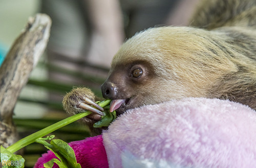 Hoffmann's two-toed sloth Gamboa Wildlife Rescue pandemonio 2017 - 01 | by Eva Blue