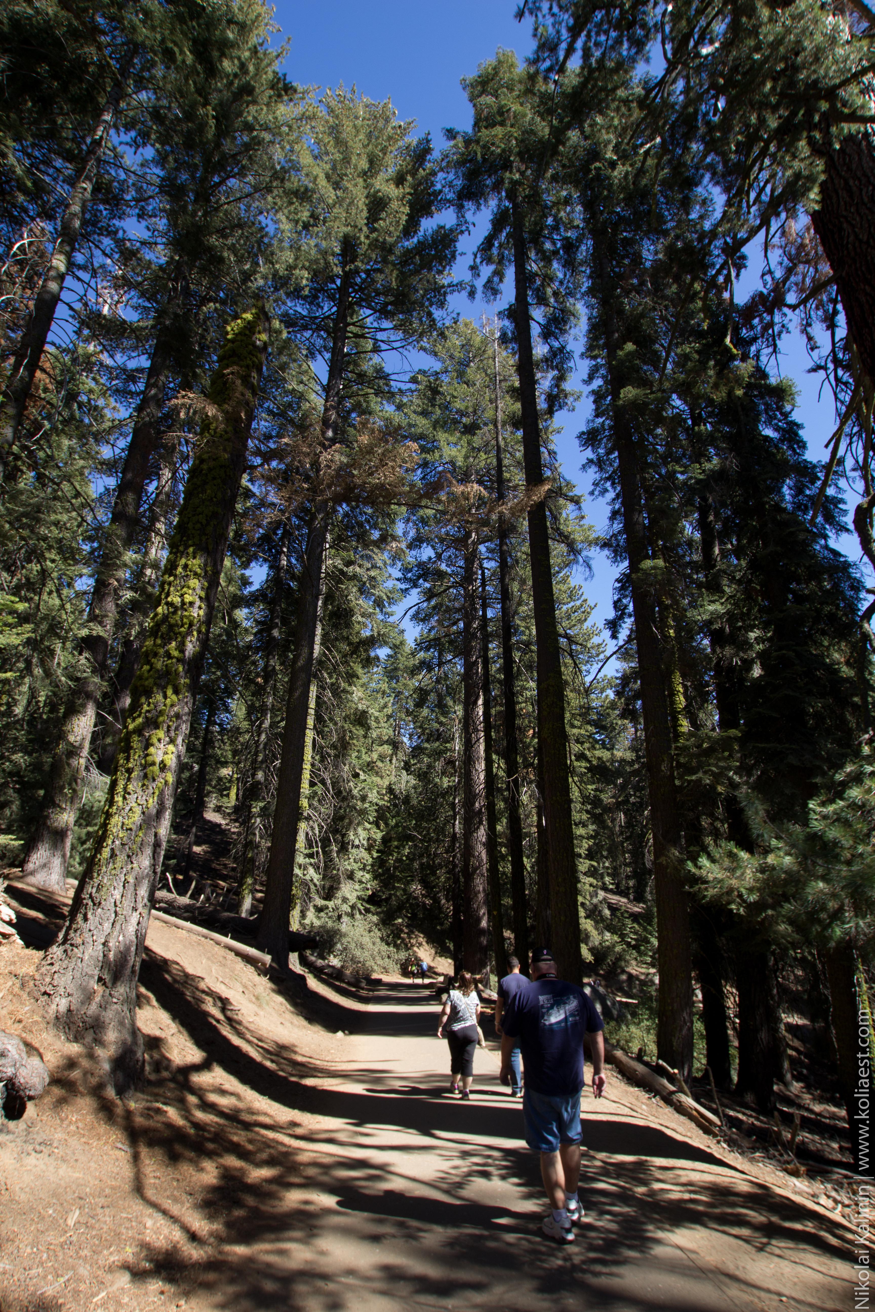 Sequoia-79