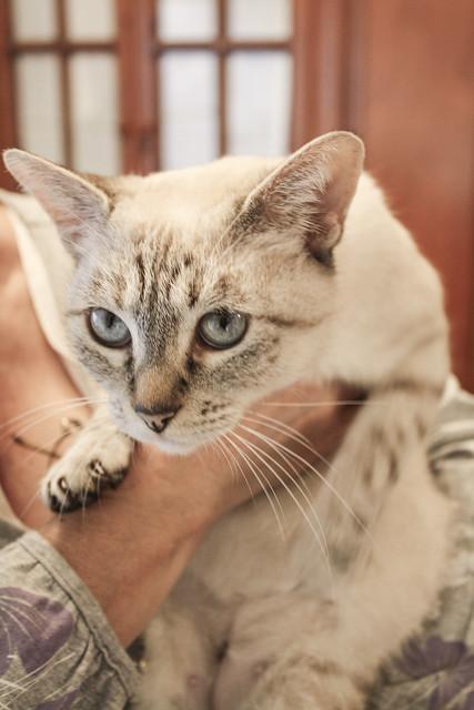 FALLECIDA- Violeta, gata siamesa tabby dulcísima esterilizada, nacida en Agosto´13, en adopción. Valencia. 22082721088_52ff584a5f_z