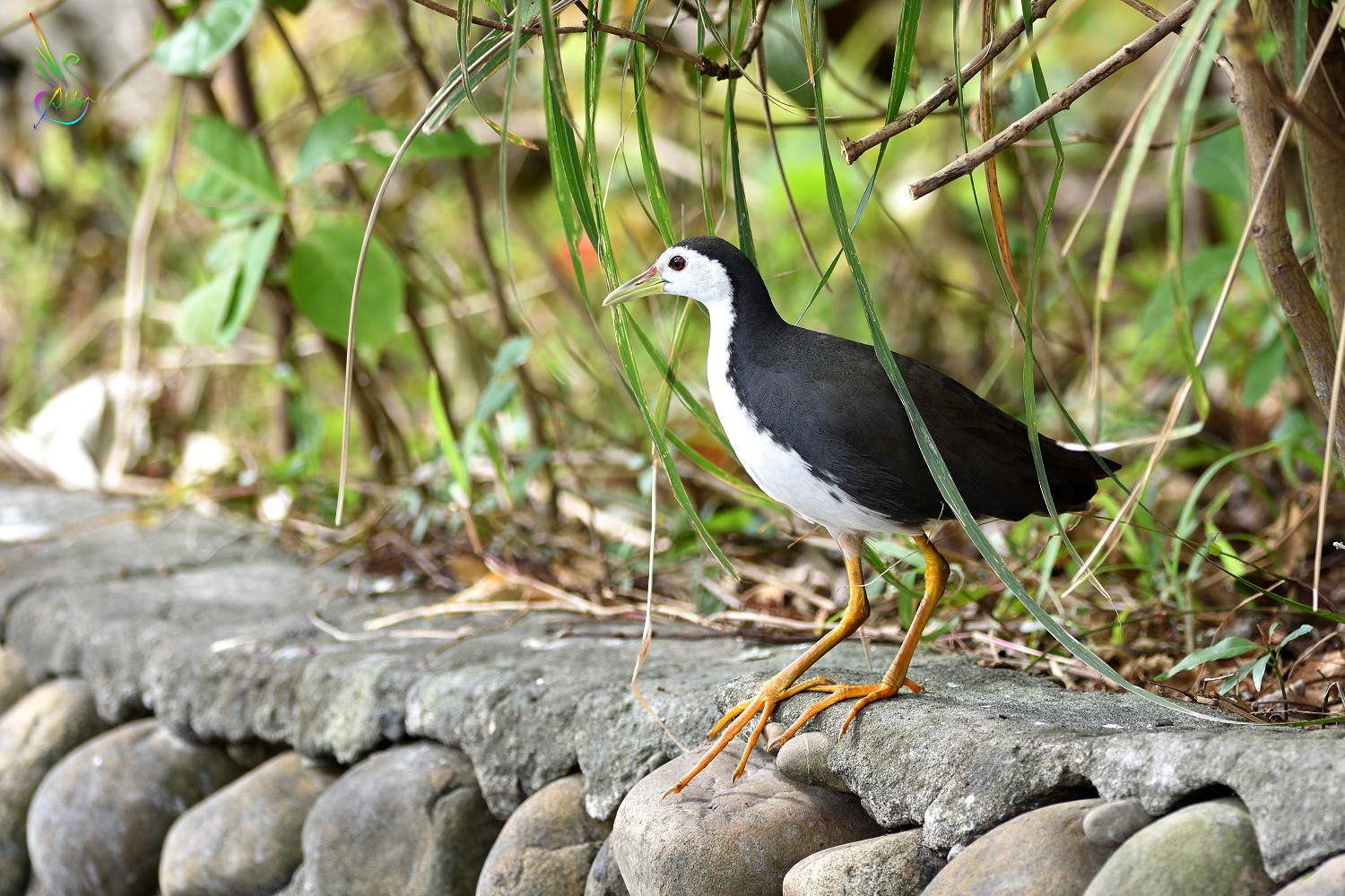 White-breast_Waterhen_7022