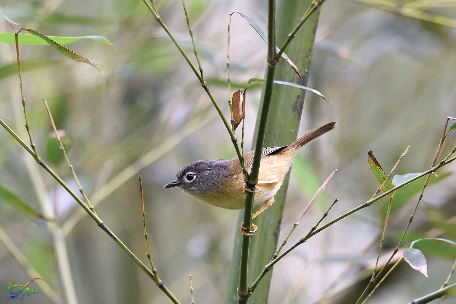 Gray-cheeked_Fulvetta_8033