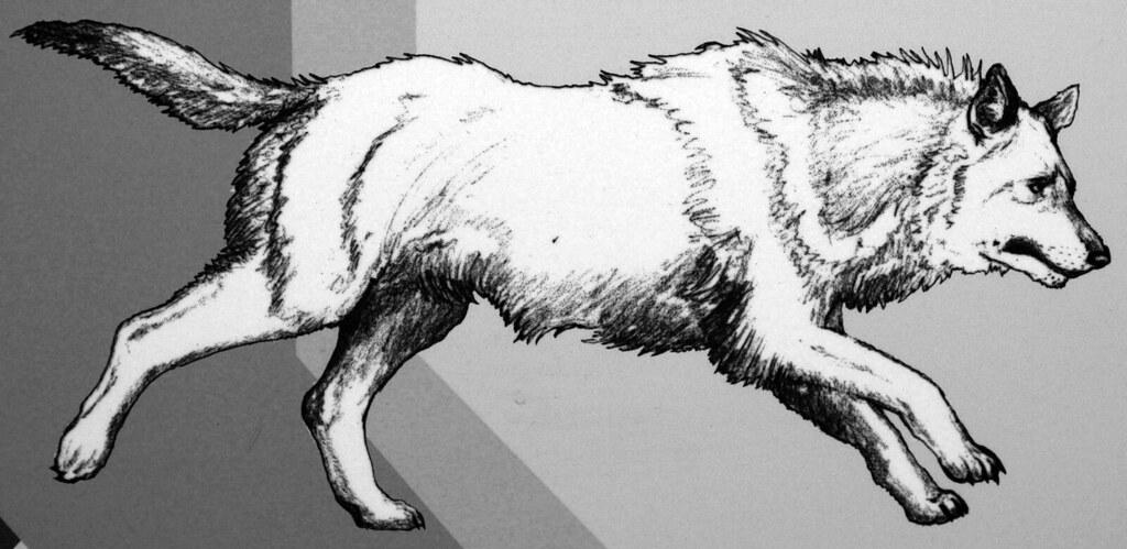 reconstruction of canis dirus dire wolf pleistocene no flickr