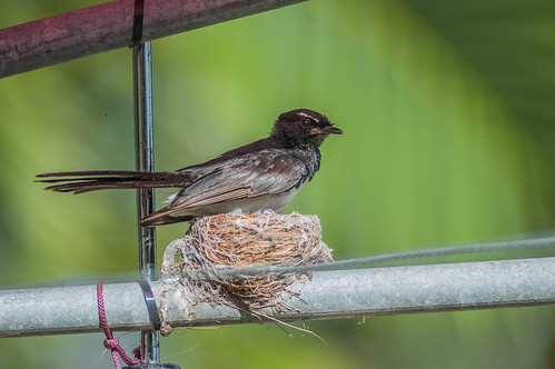 Willy Wagtail on nest ...Aussie