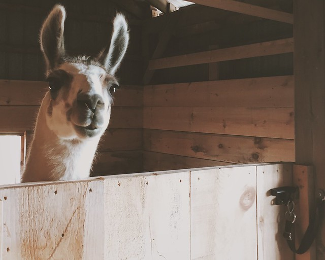 Leroy the Llama - Why you should visit a farm