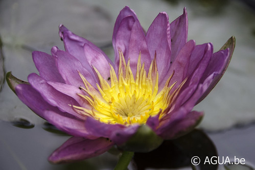 Waterlelie Violicious / Nymphaea Violicious