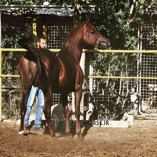 قیمت اسب عرب خالص ایرانی