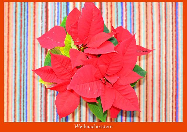 Weihnachtsstern Adventsstern rote Hochblätter ... Foto: Brigitte Stolle 2016