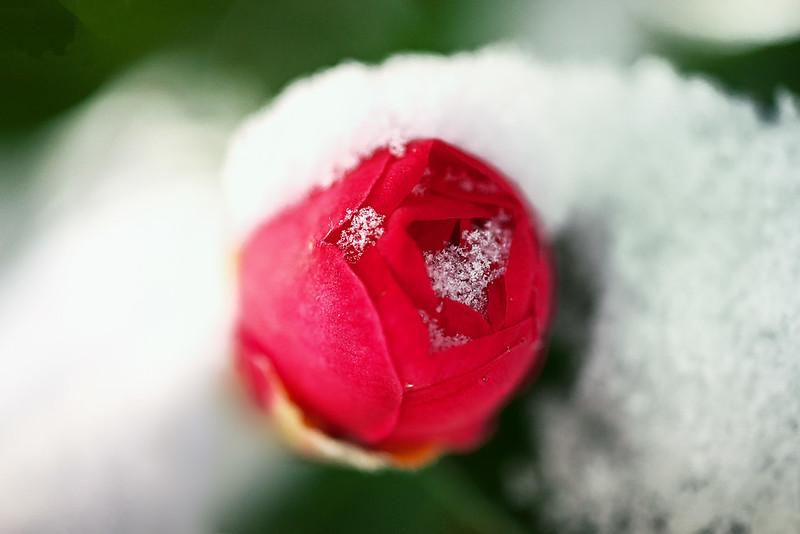 camellia in the snow
