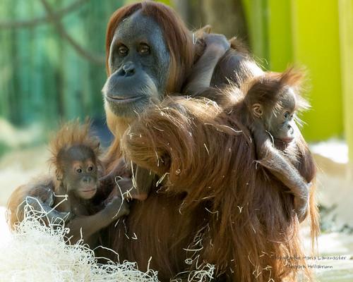 Orang-Utan Matra mit Sohn und Adoptivbaby