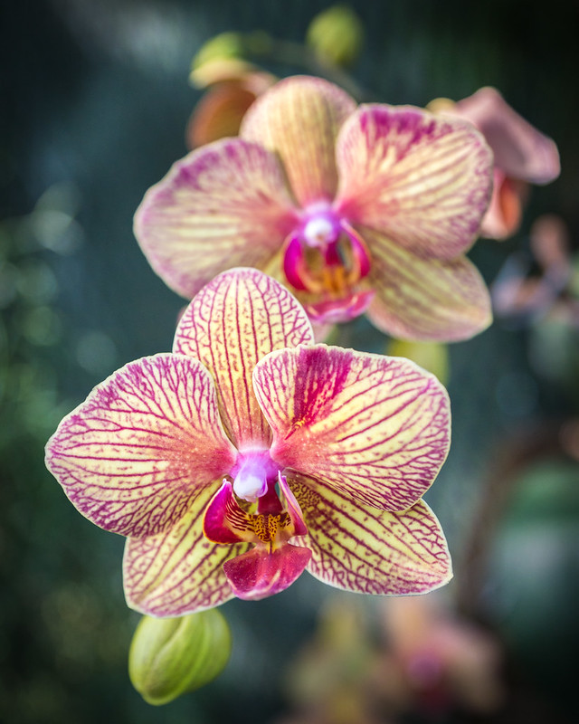 Orchid, Flower, Macro, Exotic