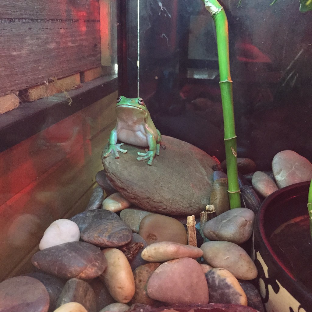 a green tree frog in a tank at the local florist