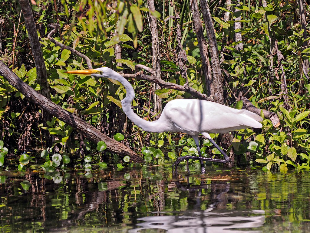 Great Egret On Prowl >> It S All In The Prowling Slipping Through The Shadows Alon Flickr