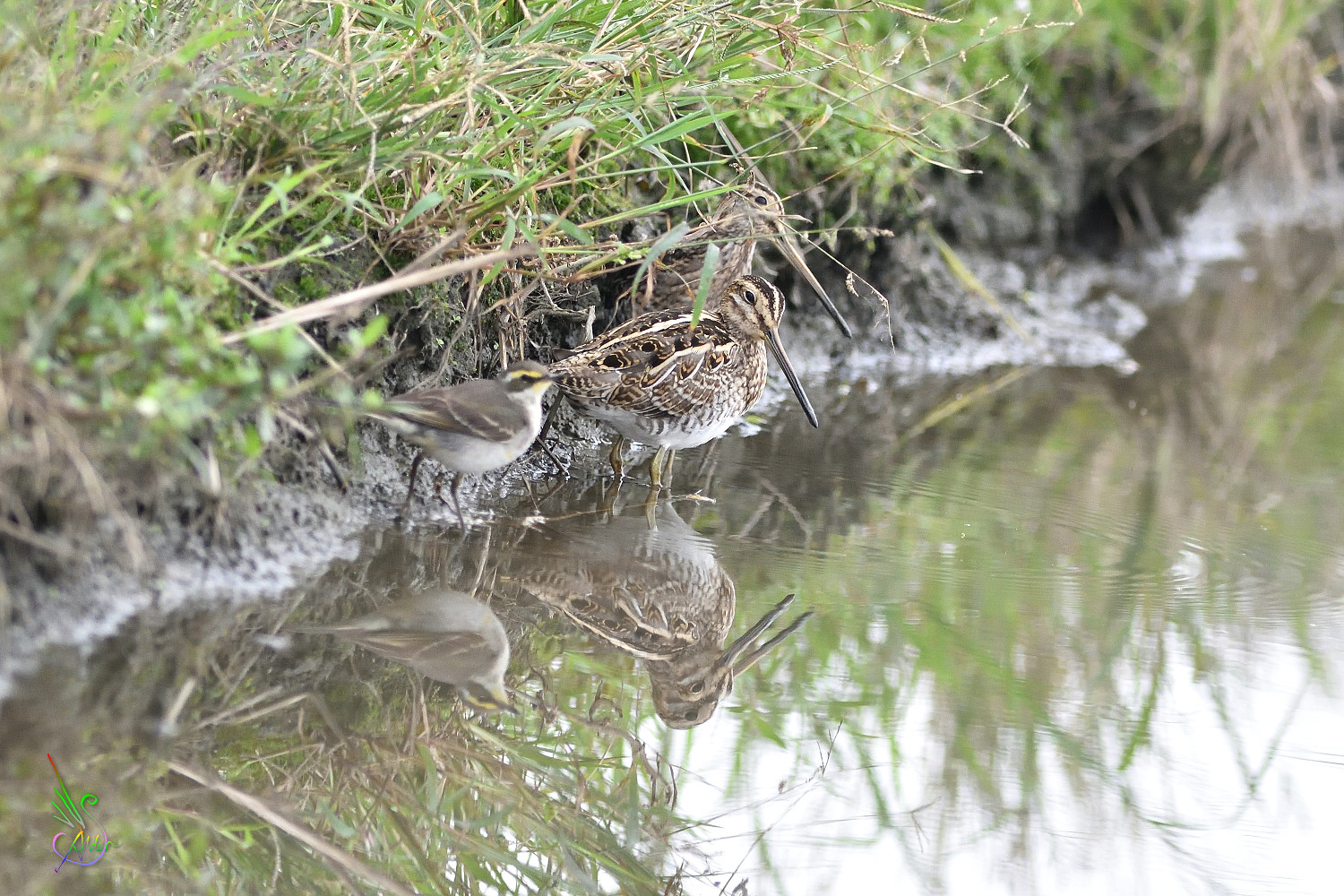 Common_Snipe_6275