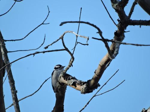 Downy Woodpecker #10