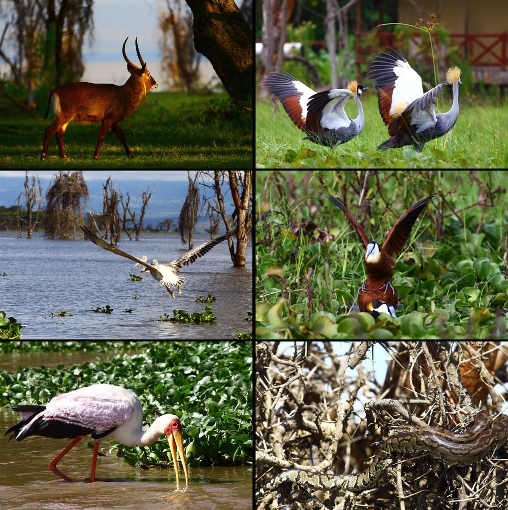 在奈瓦夏出沒的生物們。左上:水羚;右上:灰冠鶴;左中:粉紅背鵜鶘;右中:長腳雉鴴;左下:黃嘴䴉鸛;右下:非洲岩蟒。攝影:鍾坤典