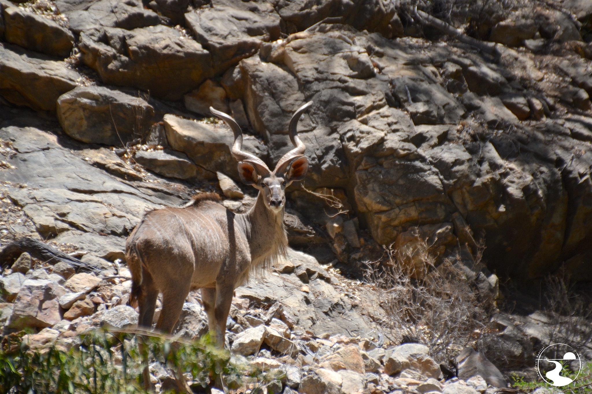 Kudu, Naukluftberge