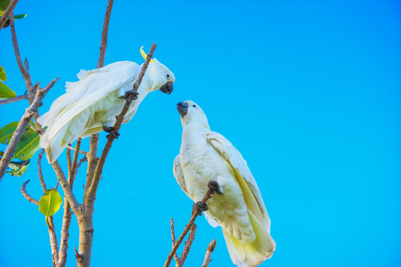 Sulfur crested cockatoos preening