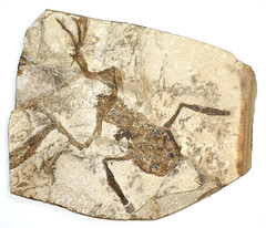 fossil frog | A fossilized frog, from Bechlejovice in the Cz… | Flickr
