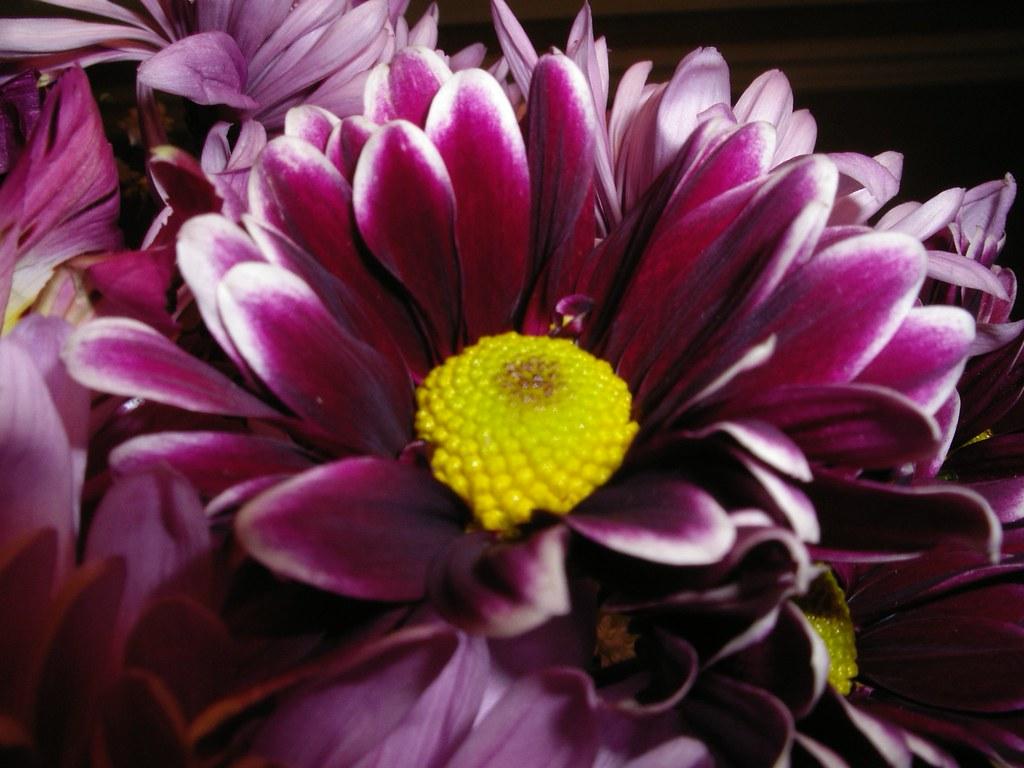 burgundy chrysanthemum mary flickr