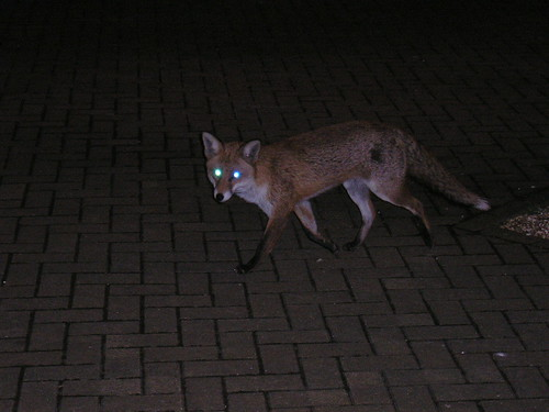 Fox in the Courtyard | by Peter Jaworski