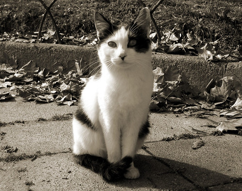 Grey And White Cat With Black Nose