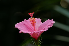Hibiscus  - depth of field | by marvels of nature