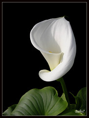 White Lily | by baby7