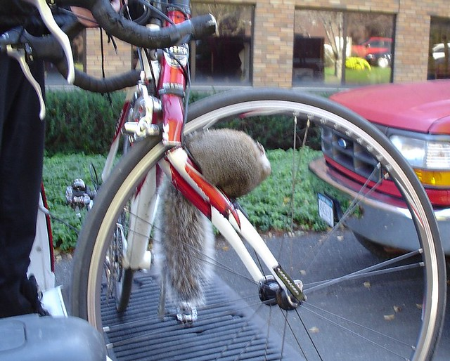 Squirrel Death By Bike Are You Cyclelicious Forwarded