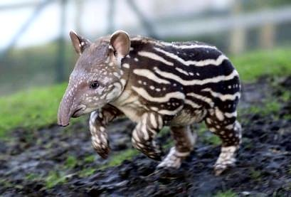 Baby Tapir | by Dolores Luxedo
