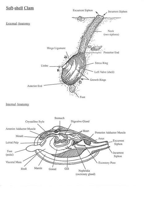 clam anatomy | Memetician | Flickr