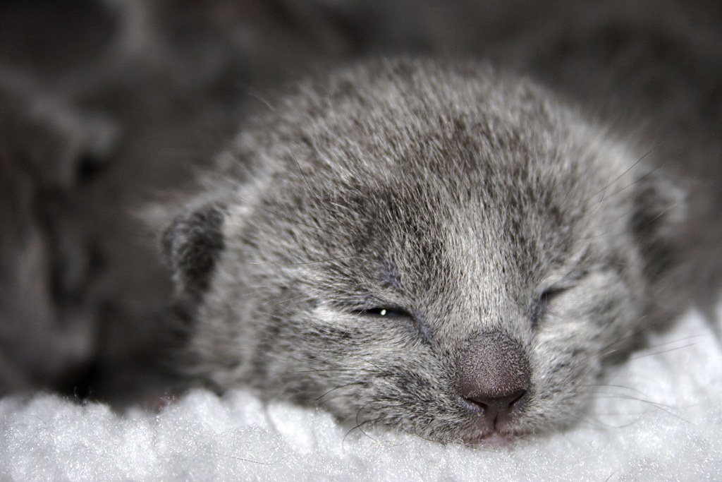 russian blue cat for sale - 800×534
