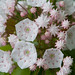 IMG_9596: Mountain Laurel