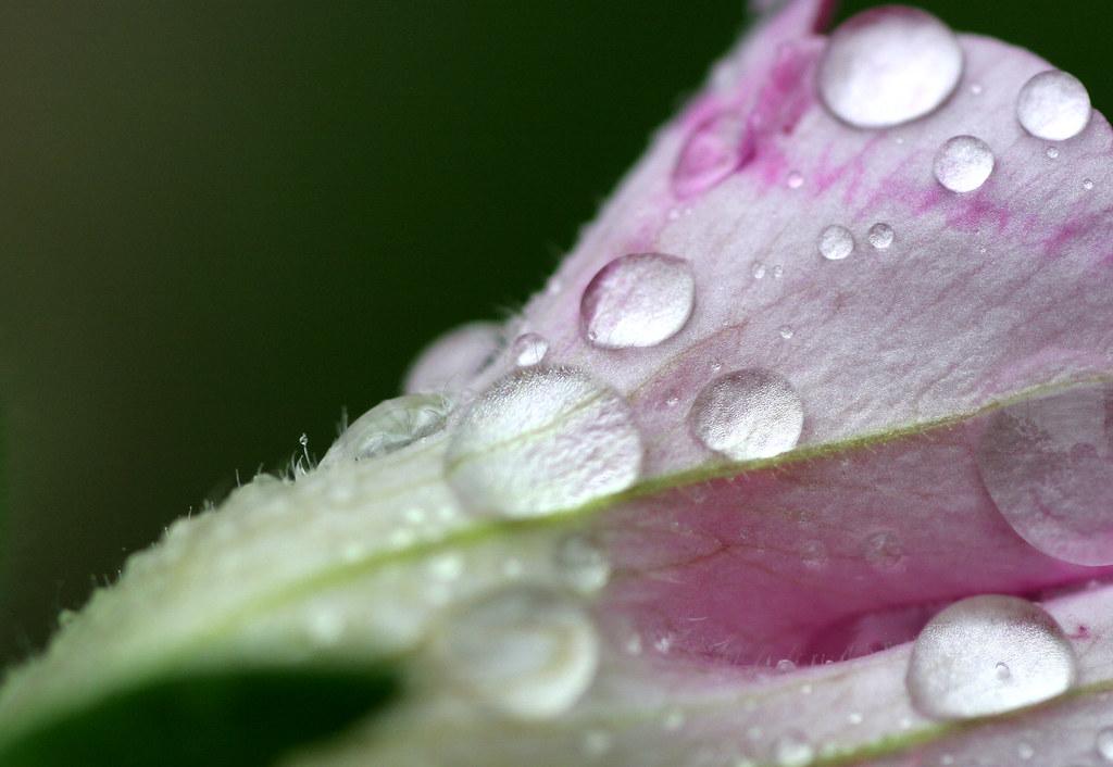 Petunia petals